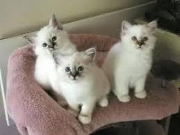 birman kittens for free adoption singapore