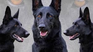 black german shepherd puppies with blue eyes. Modren Shepherd Black German Shepherd For Puppies With Blue Eyes P