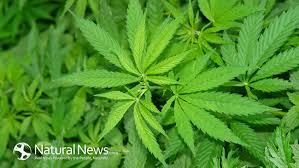 medical hemp oil treatment for cancer