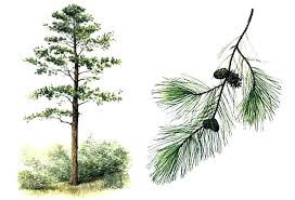 Tree Identification Chart Pine Tree Identification Plant Identification Closed Can You