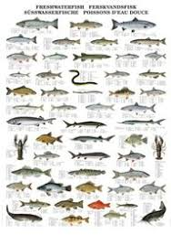 Freshwater Fish Chart Buy Colour Wall Chart Freshwater Fish Species Multilingual