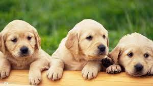 Labrador Wallpapers - Top Free Labrador ...