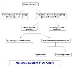 Cns Pns Chart Solved If You Understand That The Cns And Pns Work