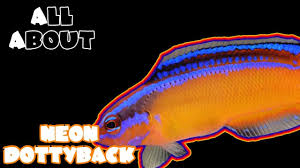 Dottyback Compatibility Chart All About The Neon Dottyback