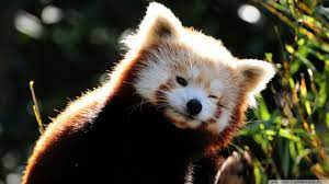 Red Panda Backgrounds - Wallpaper Cave