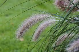 Filepennisetum Alopecuroides Lampenpoetsersgras 02jpg