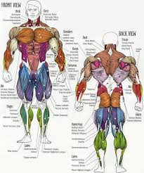 Muscle Group Chart With A List Of What Exercise You Need To