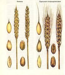 Селекция короткостебельных сортов озимой пшеницы ru Полукарликовые сорта озимой пшеницы Киянка Одесская полукарликовая