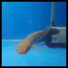 Ikan Channa Digabung