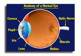 anatomy of a normal human eye