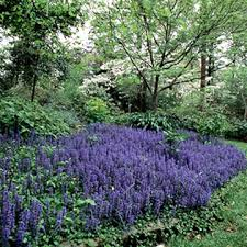 Image result for Ajuga garden ideas