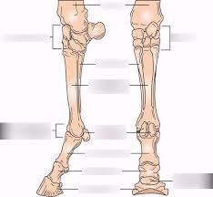 Long bones are found in the arms (humerus, ulna, radius) and legs (femur, tibia, fibula), as well as in. Horse Leg Bones Scientific Names Diagram Quizlet