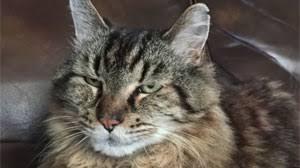 meet corduroy the oldest living cat