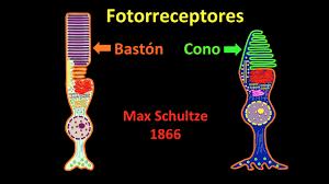 Resultado de imagen de Los ojos tienen dos clases de células fotorreceptoras: los conos y los bastones
