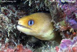 Very cool and very unique. Meet The Hawaiian Dwarf Moray Eel The Garden Island
