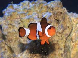 Clown Fish Identification Chart Ocellaris Clownfish Amphiprion Ocellaris False Percula