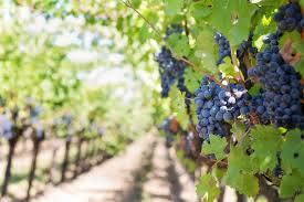 Image result for grape vine