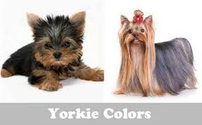 Yorkie Colors Change Picture Yorkshire Terrier Yorkie