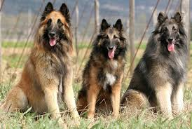 belgian tervuren dog breed