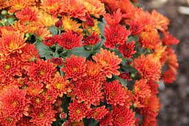 hardy mums in flower photo courtesy of gpnmag com