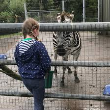 Zebra fan Polly ends her amazing fundraising walk at the Somerset zoo she  helped through lockdown | West Country | ITV News