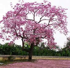 flower tree pictures. Exellent Flower Once The Flowers Drop They Will Carpet Ground Below For Flower Tree Pictures