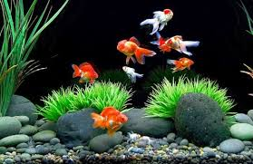 Goldfish Feeding Chart How Often Should You Feed Goldfish How Much Aquarium Adviser