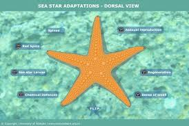 Sea Star Adaptations Dorsal View Science Learning Hub