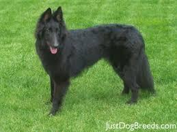 belgian usa groenendael belgian shepherd breeders grooming dog puppies