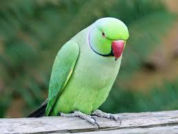 xpx kb parrot image  parrot image