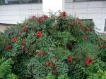Petit arbuste a feuillage persistant