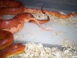 Corn Snake Breeding Info
