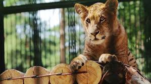 cute baby liger. Exellent Liger Play Preview Video To Cute Baby Liger B