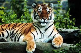 Arti Tafsir Mimpi Harimau