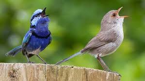 Image result for blue wrens in western australia