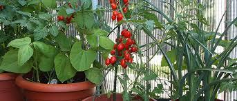 a vegetable garden on your balcony by albert mondor