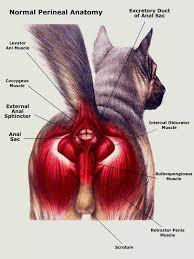 Cat anatomy, anal gland