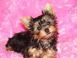 miniature yorkshire terrier puppies for in scotland
