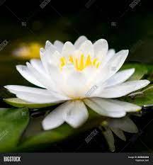 Beautiful White Lotus Image & Photo ...