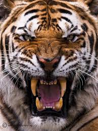tiger face growling. Interesting Face 500px  Be AfraidBe Very Afraid By Bigcatphotos UK With Tiger Face Growling