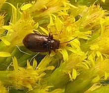 Corn Flea Beetle Flea Beetle Wikipedia