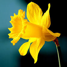 Daffodil Golden Harvest. 5kg Bulbs or buy in bulk - Daffodil Bulbs ...