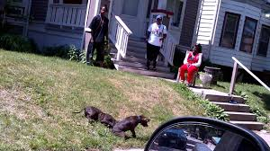 pitbull dog fights in the hood. Dog Fight Inthe Hood And Pitbull Fights In The YouTube