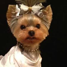 short haircut for yorkie picture