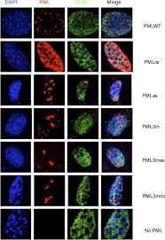 The Mechanisms of PML-Nuclear Body Formation - ScienceDirect