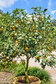 orange fruit on the tree stock photo by
