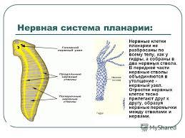 Строение и процессы жизнедеятельности планарии движение питание  Чем питание белой планарии отличается от питания гидры