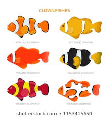 Clown Fish Identification Chart Royalty Free Clownfish Stock Images Photos Vectors