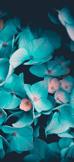 Explore and download tons of high quality blue wallpapers all for free! Blue Flowers 4k Wallpaper Petals Teal Black Background 5k Flowers 701