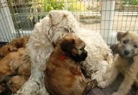 Wheaten Terrier Size Chart Wheaten Terrier Puppies